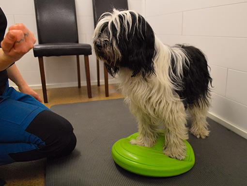 Koira tasapainottelee
