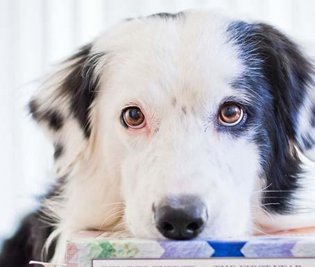 Koira nojailee kirjakasaan