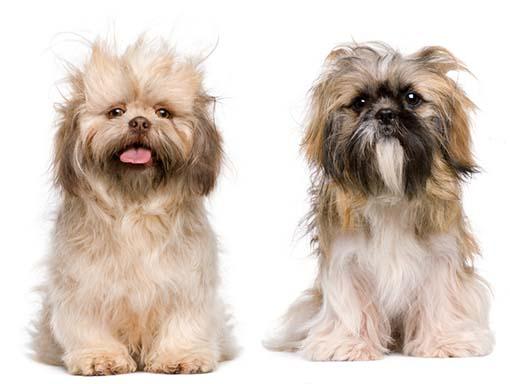 Kuva trimmausta vailla olevista koirista