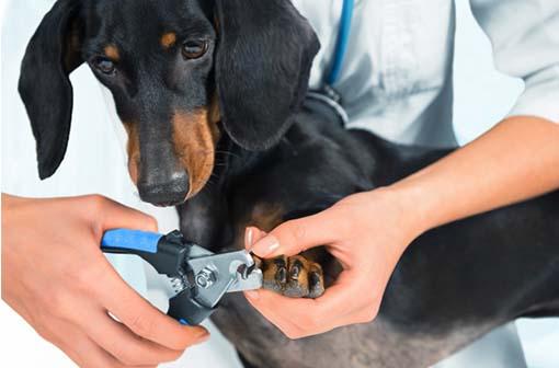 Koiran kynsienleikkaus